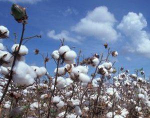 champ-de-coton-bio-tampon-hygienique